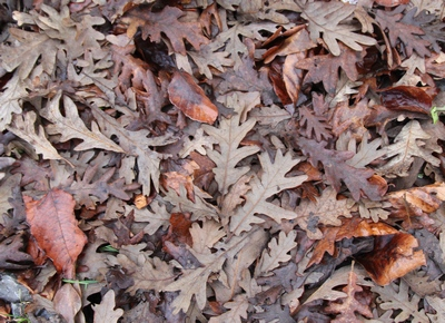 chene taurin feuilles mortes